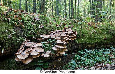 albero rotto, muschio, involvere, con, grande, mazzo, pholiota, funghi