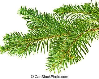 albero sempreverde, ramo, cornice, isolato, bianco, fondo
