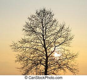 albero, silhouette, sunset.