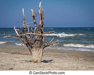 albero, spiaggia sabbia, morto