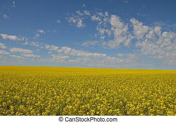 Alberta canola field