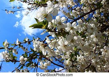 albicocca, fiori, e, fragranza, di, primavera