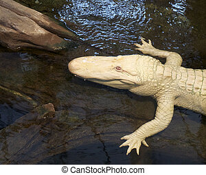 An exotic albino alligator rests on a log in a pond
