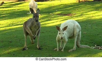 Albino And Brown Kangaroo Side By Side - Steady, medium...