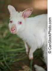 albino, bennett's, wallaby