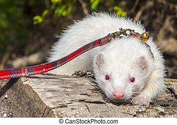 albino, correa, doméstico, cuello, hurón, árbol