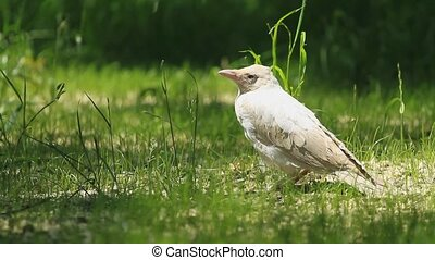 Albino crow on a green grass