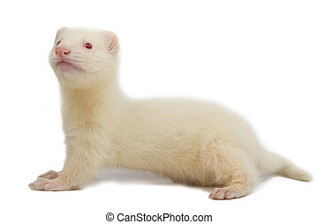 Albino ferret, lying on a white background Isolated on white...