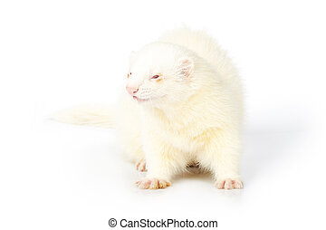 Albino ferret male on reflective white background