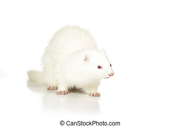 Albino Ferret on reflective white background