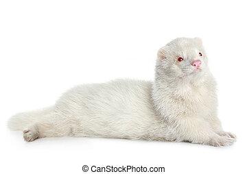 Red eyed albino ferret, lying on white background