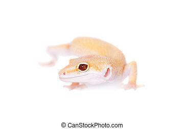 Albino Leopard Gecko on a white background - Albino Leopard...