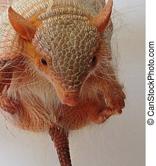 Albino Little Hairy Armadillo