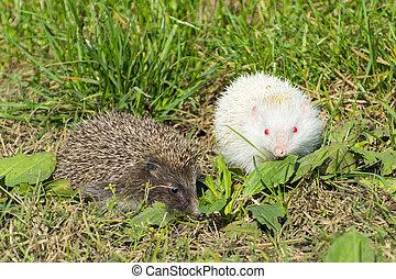 Albino northern white-breasted hedgehog (Erinaceus ...
