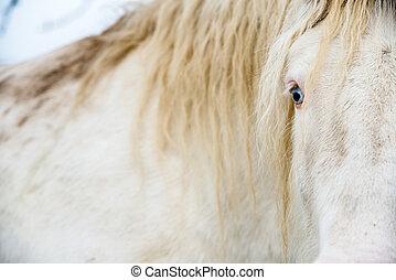albino, pferd, mit, augenpaar, blaues, auf, der, schnee