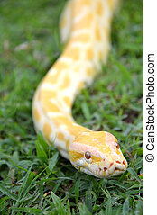 albino phyton on the grass