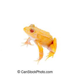 Albino Pool Frog on white, Pelophylax lessonae