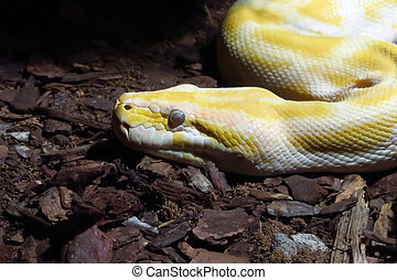Albino python - Head of a large specimen of albino python,...