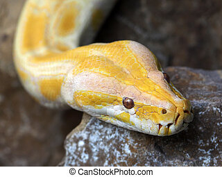 Albino Pythons