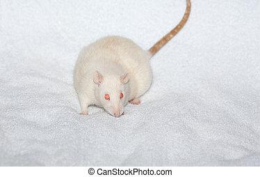 Albino laboratoty rat on white towel