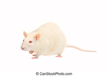albino rat  isolated on white background