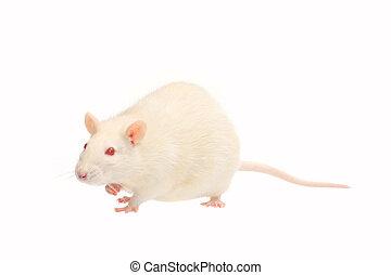 albino rat  isolated on white background