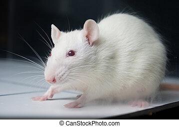 (albino), rata, experimento, tabla, durante, laboratorio, blanco