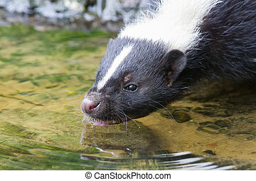 Albino skunk drinking from a small pool