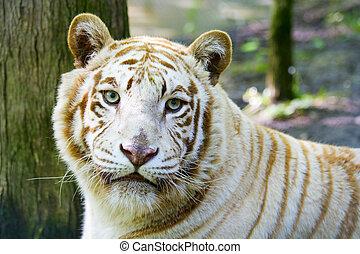 Rare albino tiger at the feline rescue center in Indiana.