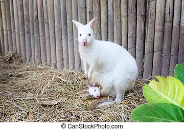 albino, wallaby, com, bebê