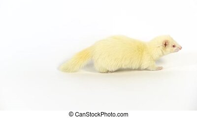 Albinos ferret furo with red eyes is walking and sniffing at white background. Slow motion.