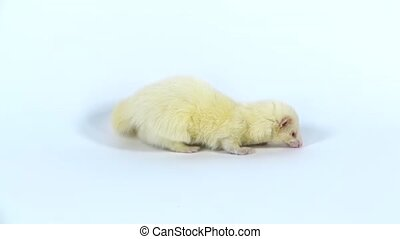 Albinos ferret furo with red eyes is walking and sniffing at white background. Slow motion. Close up
