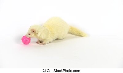 Albinos ferret furo with red eyes nibbles a sparkling pink ball with spikes at white background. The animal moves a nose. Slow motion.
