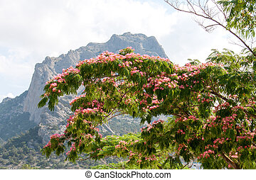 Albizia julibrissin on the background of mountains and sky.