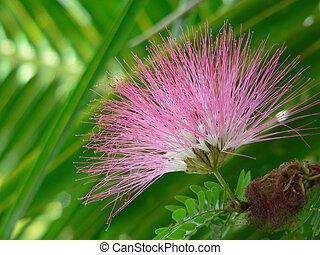 Albizia julibrissin - silk tree - Blossom of a silk tree (...