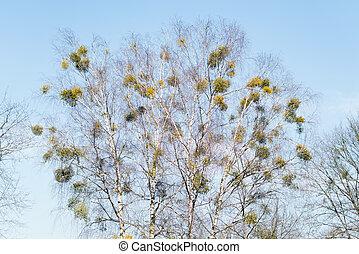 album), azul, branches., ramas, soleado, muérdago, cielo, aislado, árbol, común, arbustos, abedul, crecer, hemiparasitic, muchos, (viscum, día, europeo