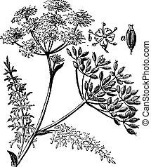 alcaravea, o, carvi de carum, vendimia, grabado