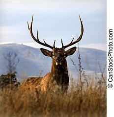 alce, grande, nacional, grande, gama, bisonte, mon, cuernos,...
