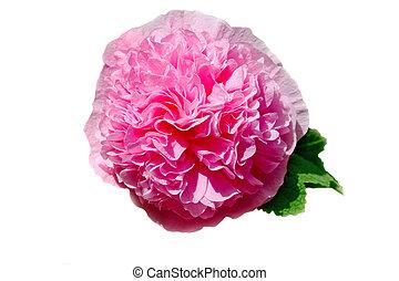 alcea, rosea, ;common, タチアオイ, 白, 背景
