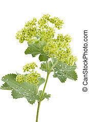 Alchemilla flowers isolated on white