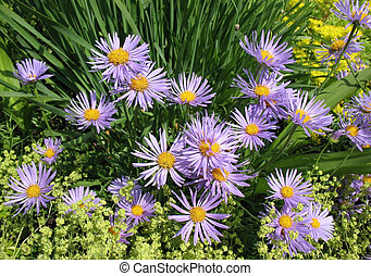 (alchemilla, rosaceae, mollis), miękki, (aster, rodzina, ...