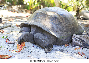 Aldabra giant tortoise eats leaves. Island Curieuse in...