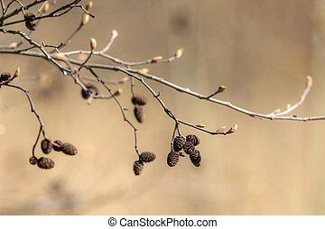alder branch with buds