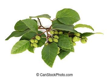 Alder branch with green female catkins
