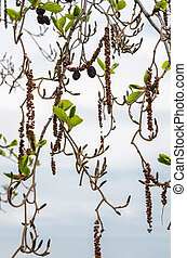 Alder branches with buds and leaves on a sky background. Spring