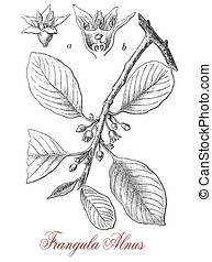 alder buckthorn,, vintage print