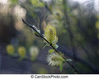 alder Bud on a branch in spring