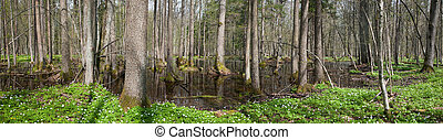 Alder-carr stand in springtime with water and anemone ...