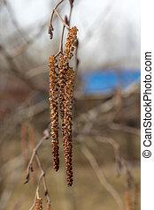 alder catkin in the spring