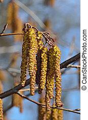 Alder catkins closeup. Spring background